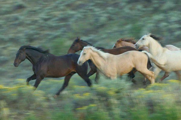 Wild Horses 12' x 8' (3,66m x 2,44m)