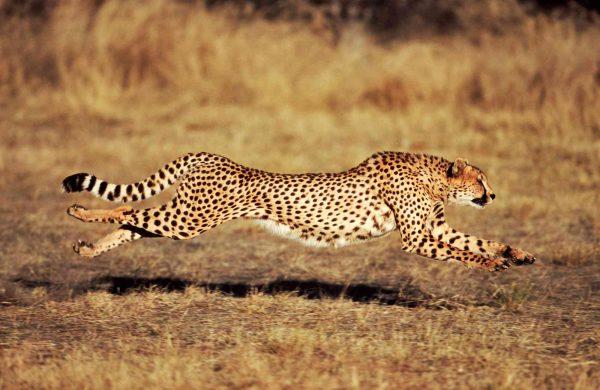 Cheetah Running 12' x 8' (3,66m x 2,44m)