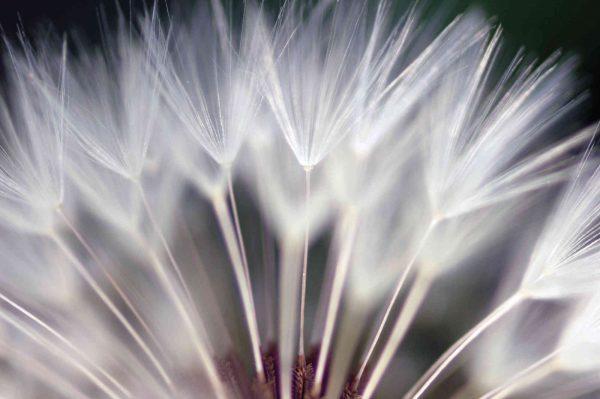 Dandelion 12' x 8' (3,66m x 2,44m)
