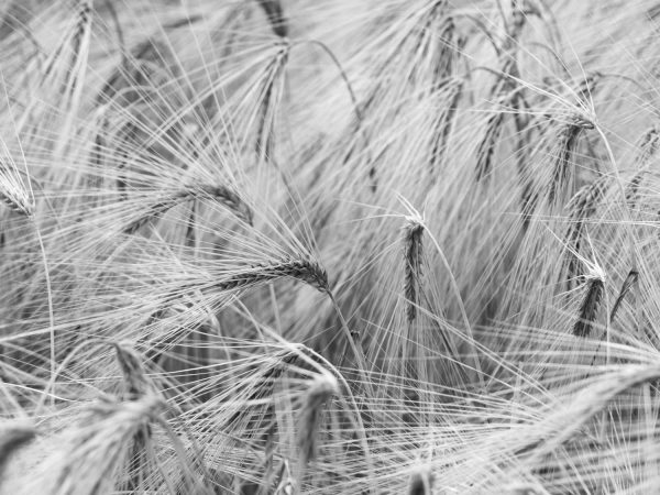 Wheat Field (Black and White) 12' x 9' (3,66m x 2,75m)