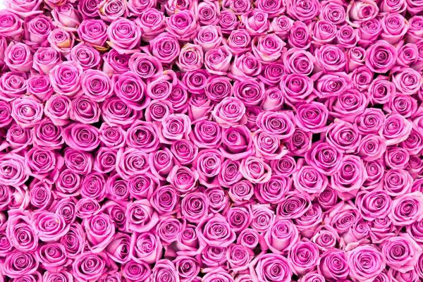 Pink Roses 12' x 8' (3,66m x 2,44m)