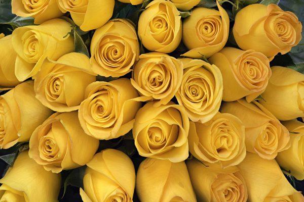 Yellow Roses 12' x 8' (3,66m x 2,44m)