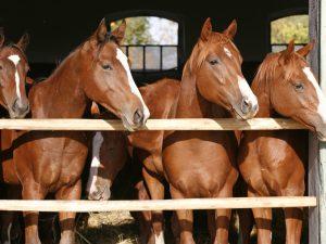 Purebreed Anglo-Arab Horses 12' x 8' (3,66m x 2,44m)