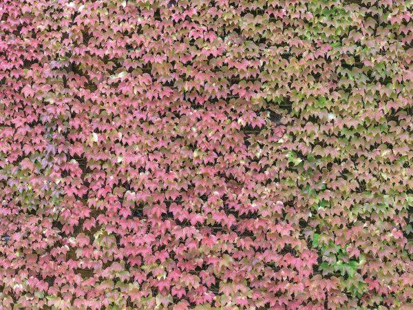 Ivy Wall 12' x 9' (3,66m x 2,75m)