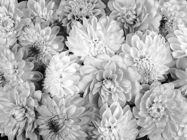 Dahlia Flowers (Black and White) 12' x 9' (3,66m x 2,75m)