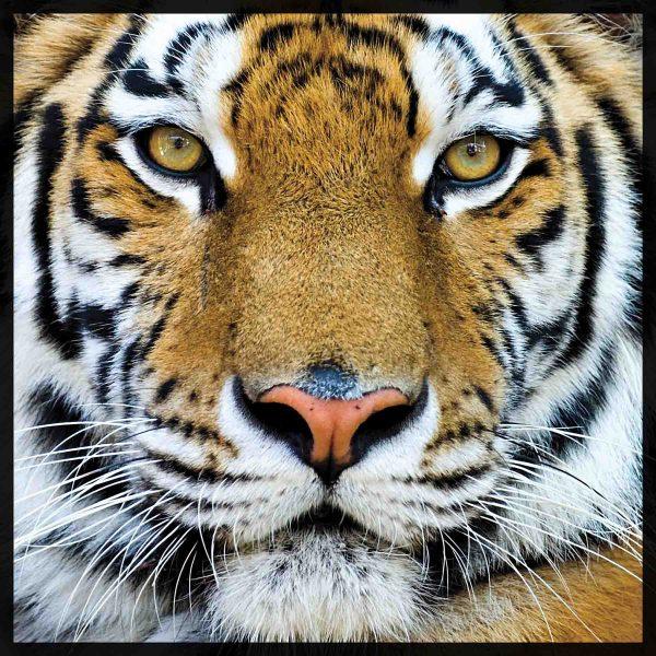 Bengal Tiger 6' x 6' (1,83m x 1,83m)