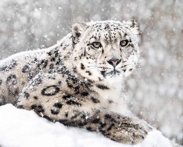 Snow Leopard 10.5' x 8' (3,20m x 2,44m)