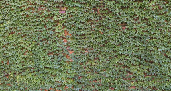 Ivy on Brick Wall 15' x 8' (4,57m x 2,44m)