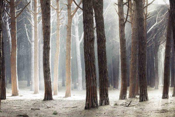 Maritime Pine Tree Forest, Maremma (Tuscany) 12' x 8' (3,66m x 2,44m)