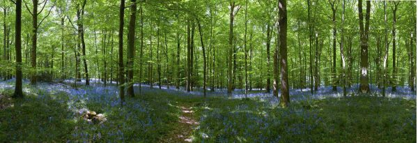 Bluebell Forest 9m wide by 2,75m high